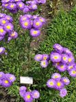 Photo Seaside Daisy, Beach Aster, Flebane, purple