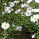 Photo Seaside Daisy, Beach Aster, Flebane, white