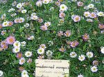 Photo Mexican Daisy, Santa Barbara Daisy, Dancing Daisy, Latin American Fleabane, Seaside Daisy, pink