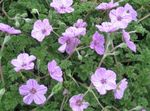 Photo Heron's Bill, Stork's Bill, lilac