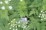 Photo Sweet cicely, white