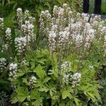 Photo Tiarella, Foam flower, white