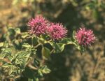Photo Scarlet Monardella, Hummingbird Coyote Mint, red