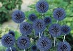 Photo Globe thistle, blue