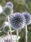 Photo Globe thistle, light blue
