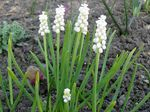 Photo Grape hyacinth, white