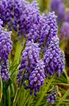 Photo Grape hyacinth, purple