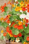 Photo Nasturtium, orange