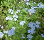 Photo Forget-me-not, light blue
