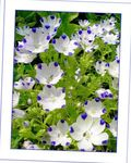 Photo Nemophila, Baby Blue-eyes, white
