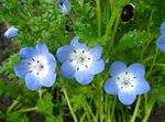 Photo Nemophila, Baby Blue-eyes, light blue