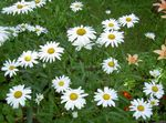 Photo Ox-eye daisy, Shasta daisy, Field Daisy, Marguerite, Moon Daisy, white