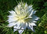 Photo Love-in-a-mist, white
