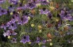 Photo Love-in-a-mist, purple