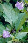 Photo Shoofly Plant, Apple of Peru, lilac