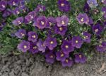 Photo Cup Flower, purple
