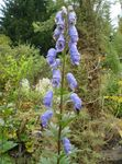 Photo Monkshood, light blue