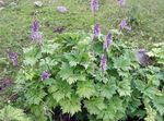 Photo Monkshood, lilac