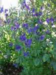 Photo Monkshood, blue