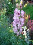 Photo Monkshood, pink