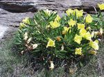 Photo White Buttercup, Pale Evening Primrose, yellow