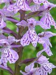 Photo Marsh Orchid, Spotted Orchid, lilac