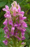 Photo Marsh Orchid, Spotted Orchid, pink