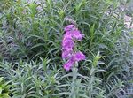 Photo Foothill Penstemon, Chaparral Penstemon, Bunchleaf Penstemon, lilac