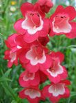 Photo Foothill Penstemon, Chaparral Penstemon, Bunchleaf Penstemon, red