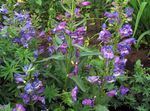 Photo Foothill Penstemon, Chaparral Penstemon, Bunchleaf Penstemon, purple