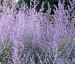 Photo Russian Sage, lilac