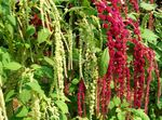 Photo Amaranthus, Love-Lies-Bleeding, Kiwicha, burgundy
