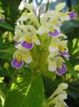 Photo Hemp Nettle, yellow