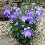 Photo Balloon Flower, Chinese Bellflower, lilac