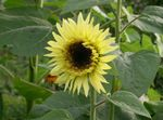 Photo Sunflower, yellow
