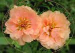 Photo Sun Plant, Portulaca, Rose Moss, pink