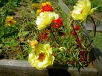 Photo Sun Plant, Portulaca, Rose Moss, yellow