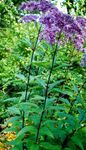 Photo Purple Joe Pye weed, Sweet Joe Pye Weed, purple