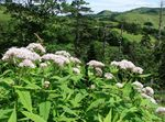 Photo Purple Joe Pye weed, Sweet Joe Pye Weed, white