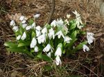 Photo Siberian squill, Scilla, white