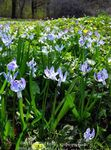 Photo Siberian squill, Scilla, light blue