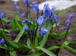 Photo Siberian squill, Scilla, blue