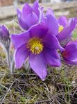 Photo Pasque flower, lilac