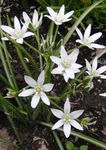 Photo Star-of-Bethlehem, white