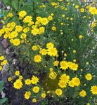 Photo Golden Marguerite, Dyer's Chamomile, yellow