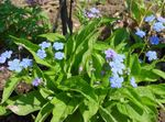 Photo Navelwort, Blue-Eyed-Mary, Creeping Forget-Me-Not, light blue