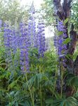 Photo Streamside Lupin, blue