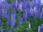 Photo Streamside Lupin, light blue