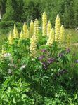 Photo Streamside Lupin, yellow