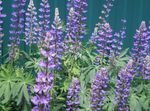 Photo Streamside Lupin, purple